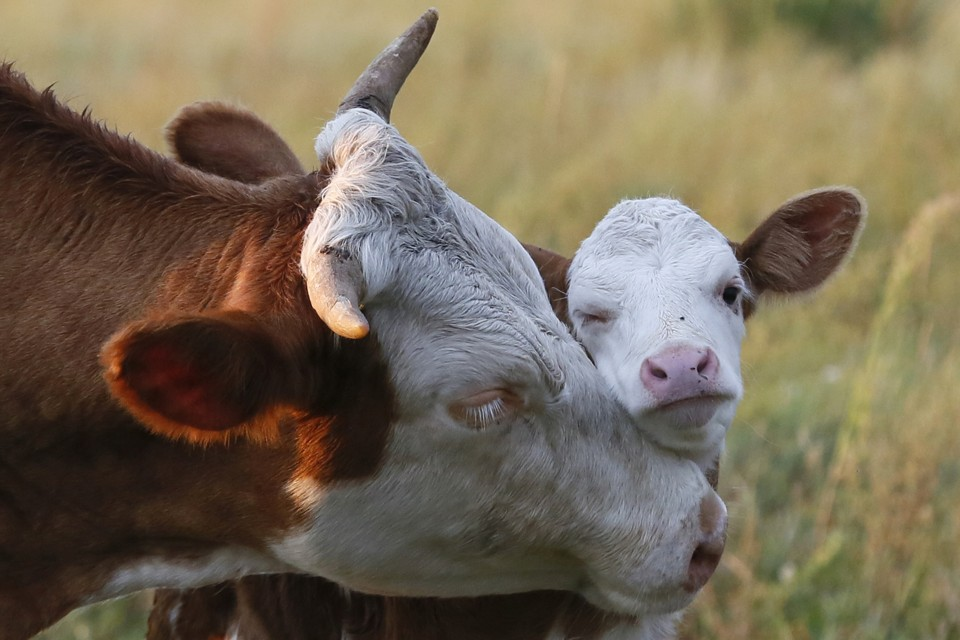 The Economic and Ethical Arguments for Humane Weaning on ...