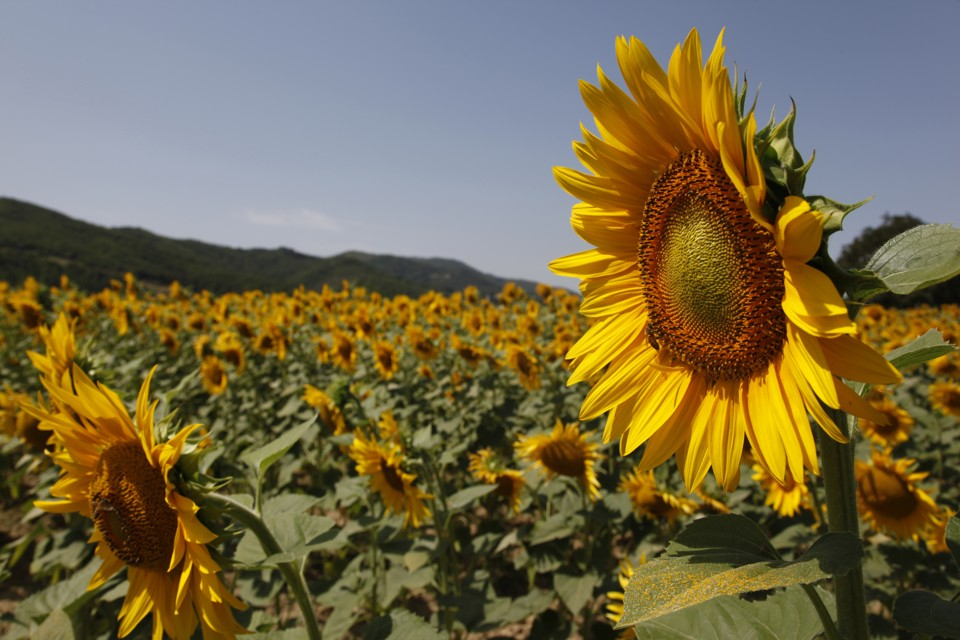 Sunflowers And The Sun 1674292 Spojivachfo