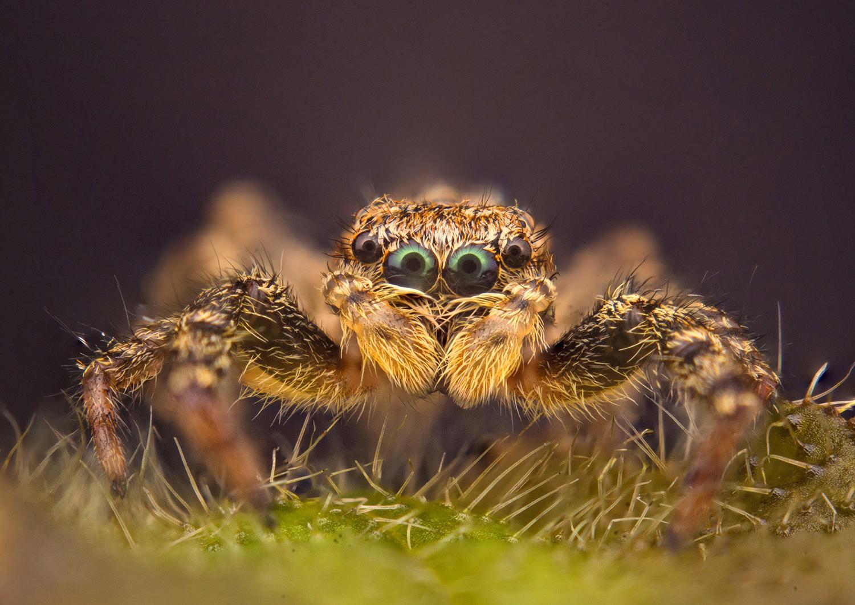 The eyes of a jumping spider; Elchin Jabbarov [1500 x 1060]