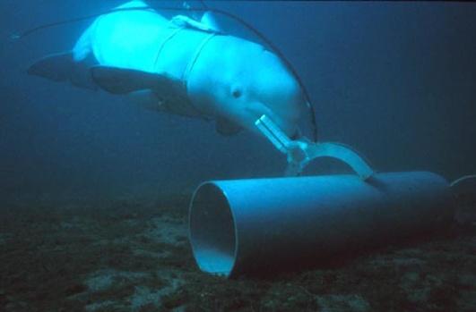 Beluga marking a training target.