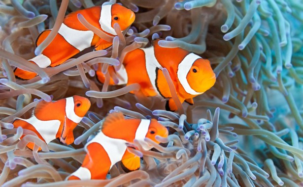 Clown fish family values the atlantic for How long is fish good for