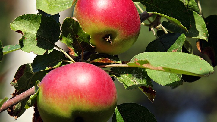 Wild Apples By Henry David Thoreau The Atlantic