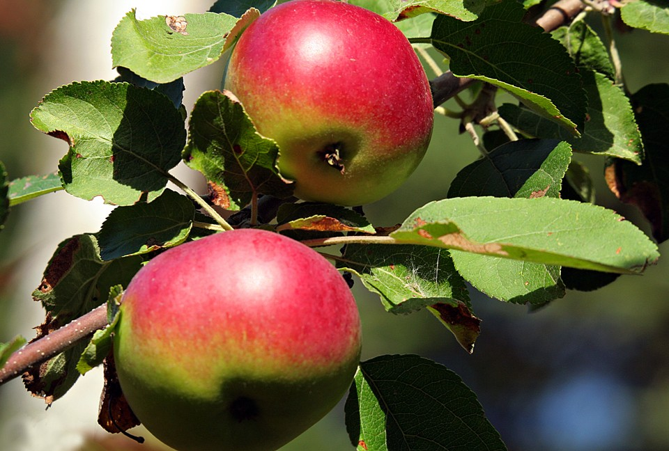 wild apples by henry david thoreau the atlantic sharon mollerus flickr