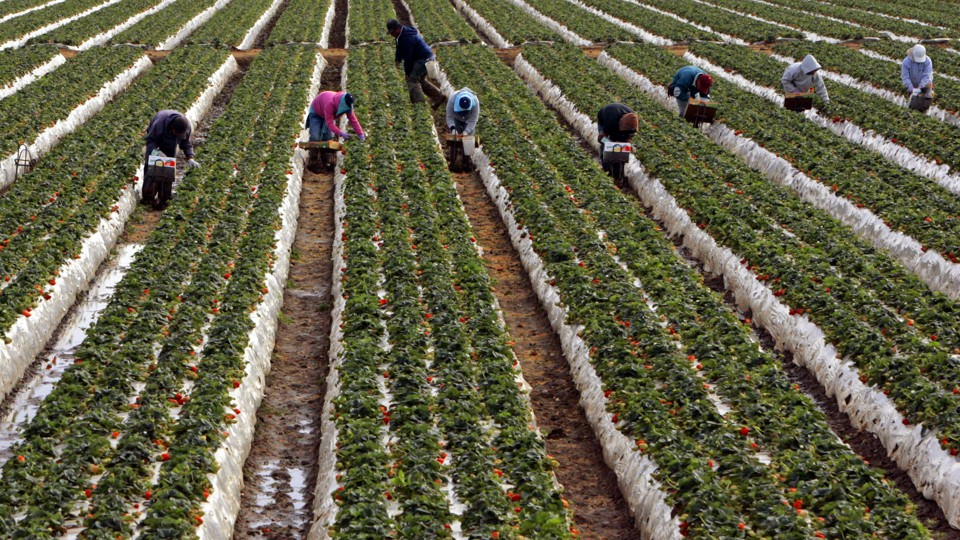 Strawberry pickers work their way through a strawberry field in Oxnard,  California, on February 18, 2006. Mario Anzuoni / Reuters