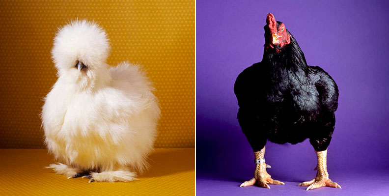 fairestfowl02.jpg