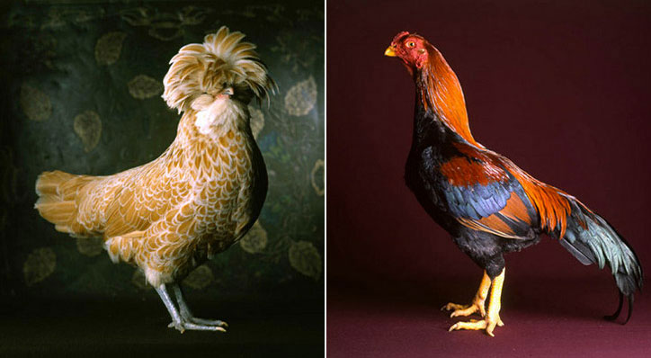 fairestfowl04.jpg