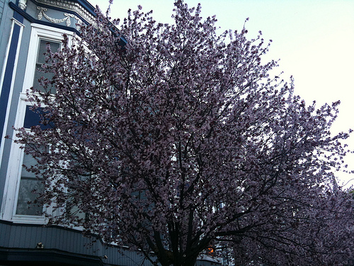 Shotwell Street Cherry Blossoms in February
