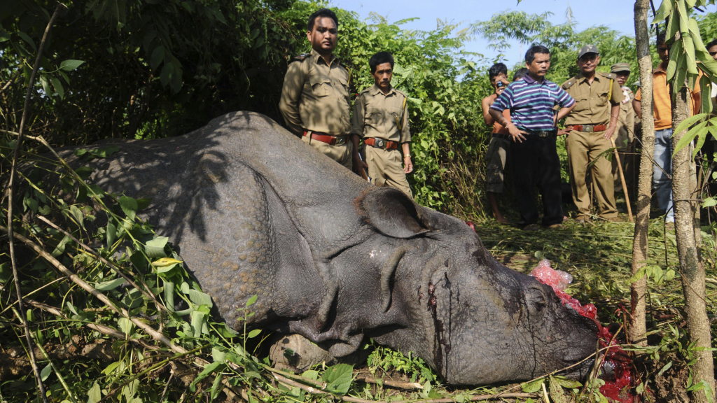Forest officials stand near a rare one-horn rhinoceros which was killed and dehorned by poachers at Karbi hills, near Kaziranga National Park, in the northeastern Indian state of Assam, Thursday, Sept. 27, 2012. Poachers shot two rhinoceroses each on Wednesday and Thursday, two of them fatally, on the fringe of the Kaziranga National Park, taking advantage of heavy rains which have caused flooding across Assam state in recent days. (AP Photo
