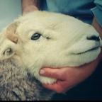 Herdy Shepherd