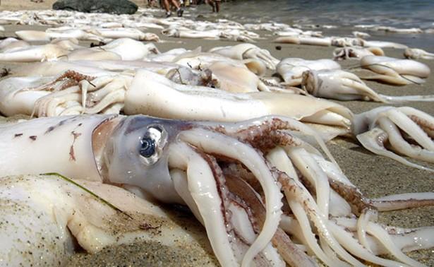 the secrets of the jumbo squid the atlantic