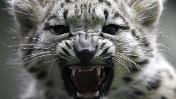 On The Presence Of Snow Leopards In Sochi The Atlantic