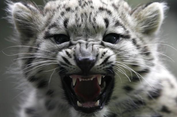 Resultado de imagen de snow leopard