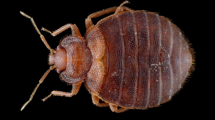 Surprising Bed Bug Madness The Psychological Toll Of The Blood Suckers Home Interior And Landscaping Mentranervesignezvosmurscom