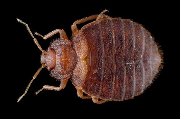 Bed Bug Phobia