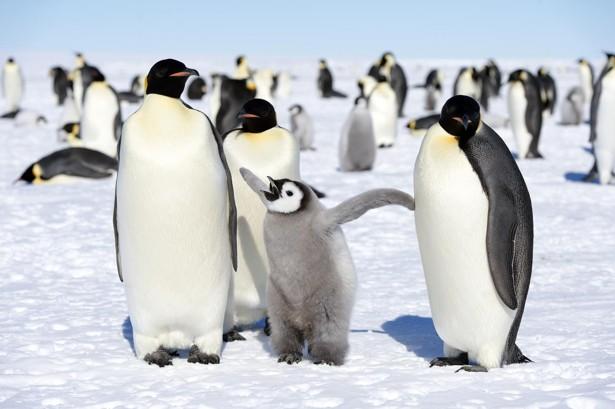 Antarctica Tourism Could Be Making Penguins Sick