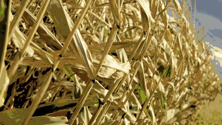 Drowning in Corn - The Atlantic