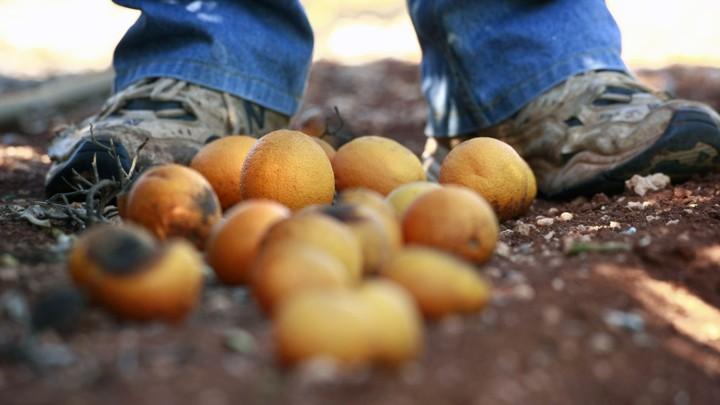 Florida Without Oranges - The Atlantic