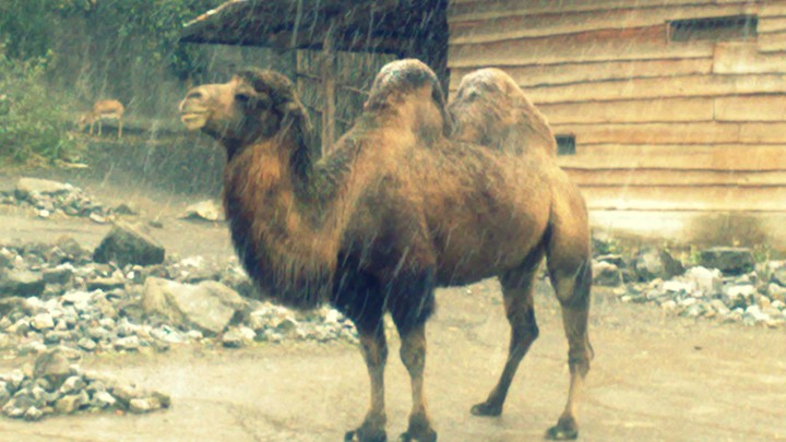 Will Camels Roam Canada Again The Atlantic