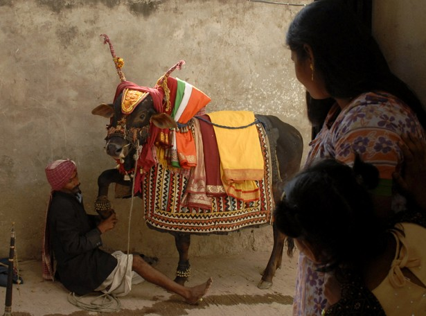 India s sacred cow essay examples