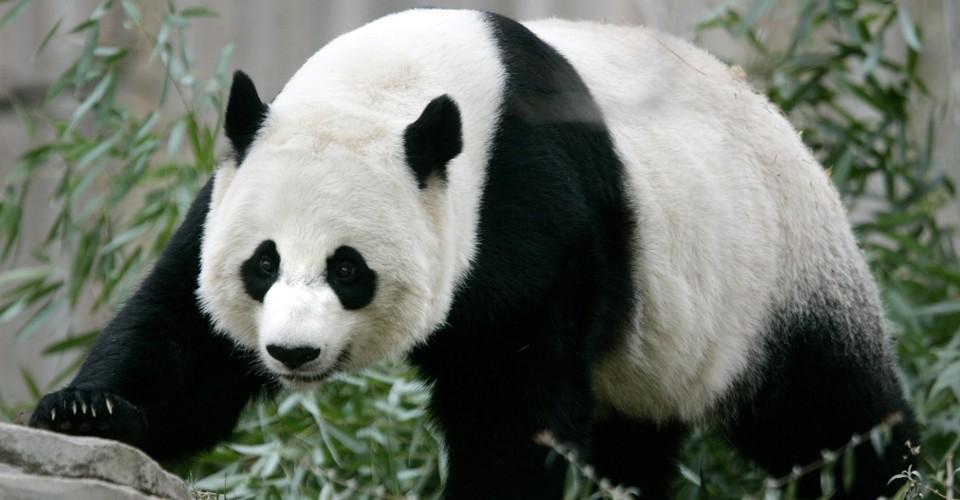 National Zoo Reports Newborn Panda Cub Has Died - The Atlantic