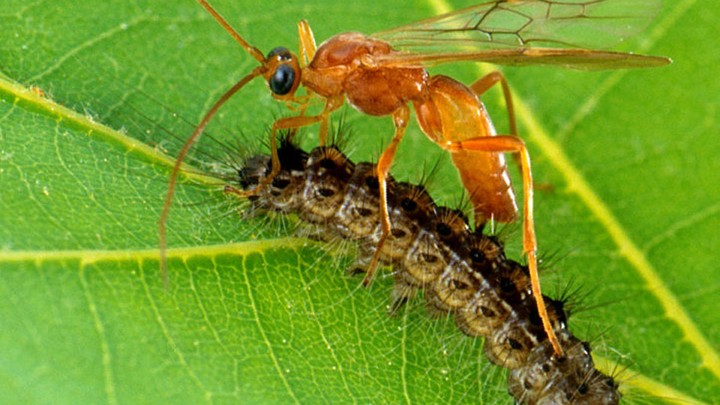Parasitic Wasps Genetically Engineer Caterpillars Using Domesticated