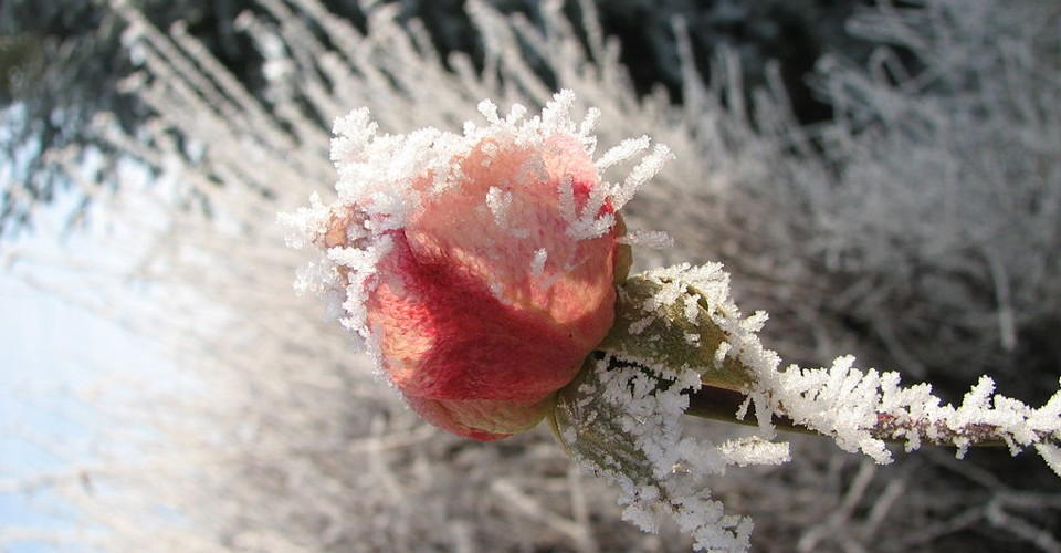 Lo How A Rose Eer Blooming Is A Musicians Christmas Carol The