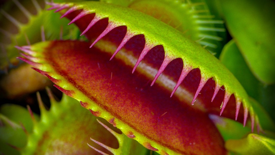Venus flytraps are even creepier than we thought the atlantic mark freeth flickr ccuart Choice Image