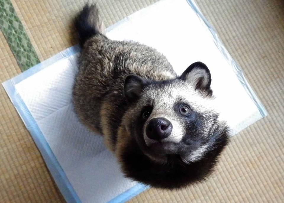 Tanuki Dog Pet