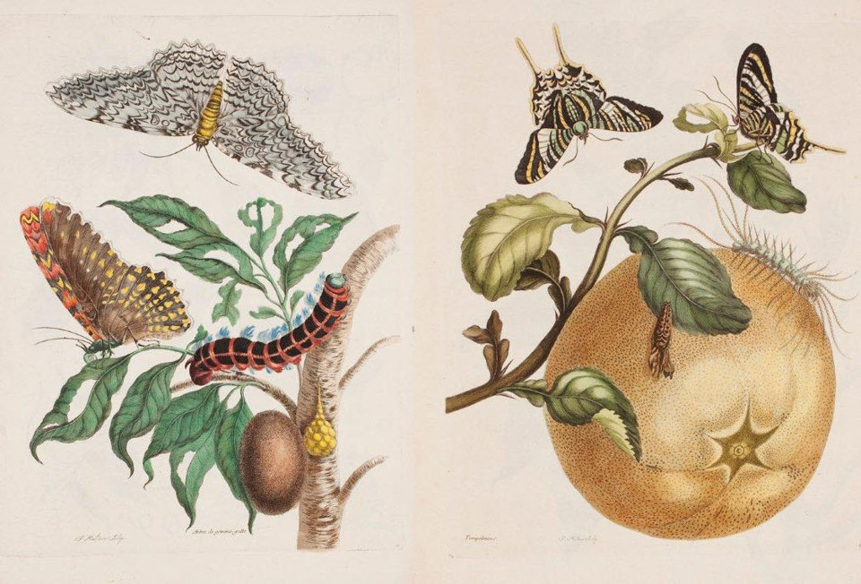 Maria Sibylla Merian, The Woman Who Made Science Beautiful - The ...