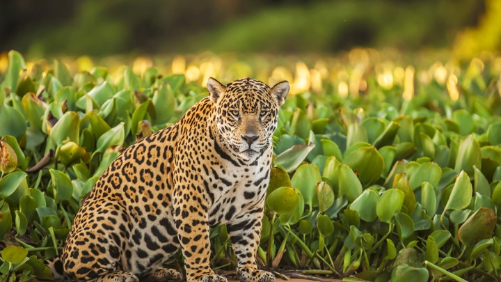 What Do Jaguars Eat >> Meet El Jefe The Only Known Jaguar Living In The United