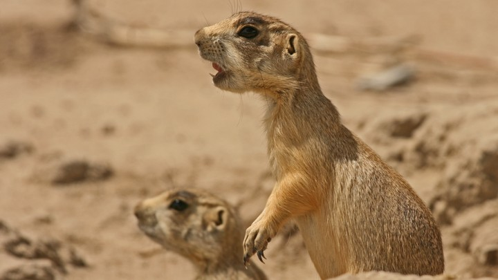 Adorable Prairie Dogs Brutally Kill Baby Ground Squirrels The Atlantic