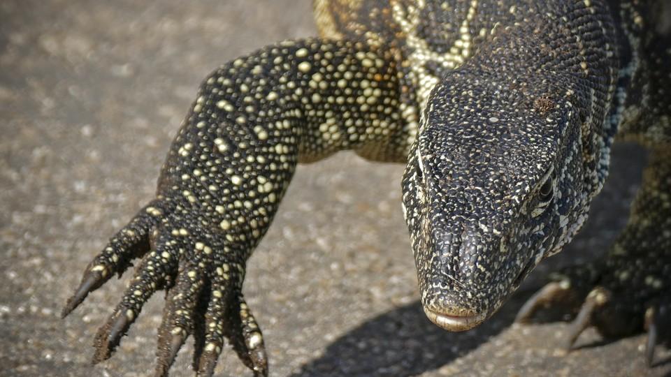 K Dragon Lizard Florida's Dra...