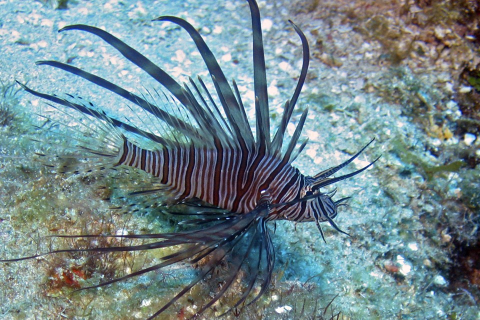 the lionfish an invasive species Several characteristics of lionfish have allowed them to become invasive species: 1 with venomous spines, lionfish have few natural predators in their native habitat, and no native predators in the atlantic and caribbean region.