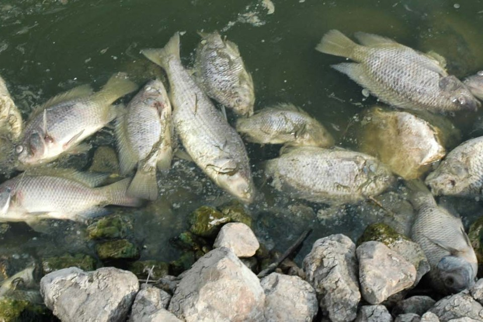 The scary thing about a virus that kills farmed fish the for Is tilapia a fake fish