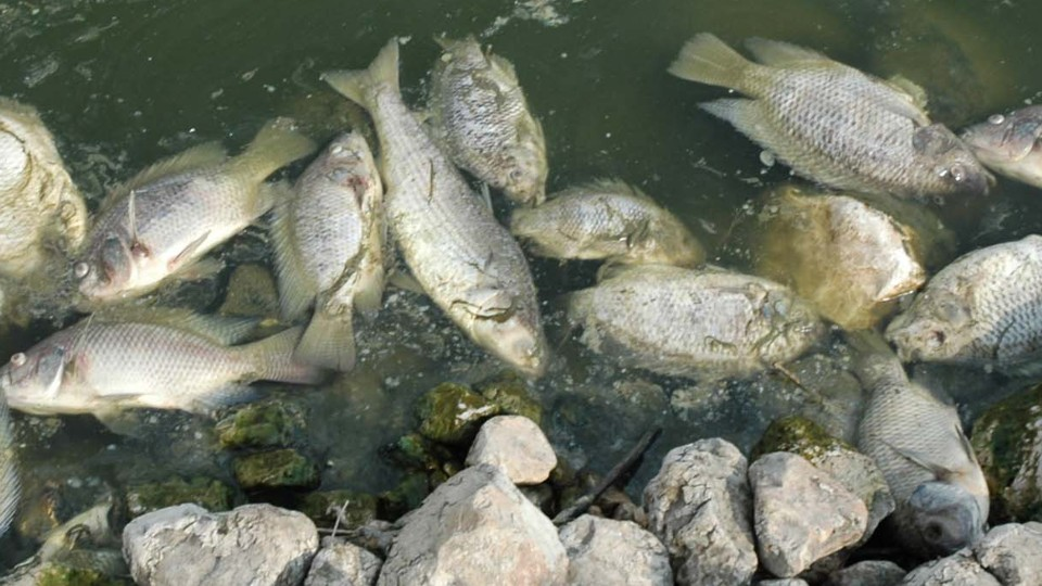The scary thing about a virus that kills farmed fish the for Tilapia fake fish