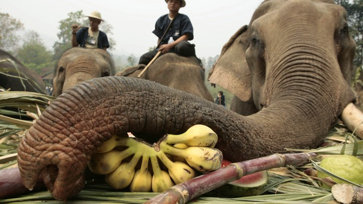 Inside The Elephant Tourism Industry In Thailand The Atlantic