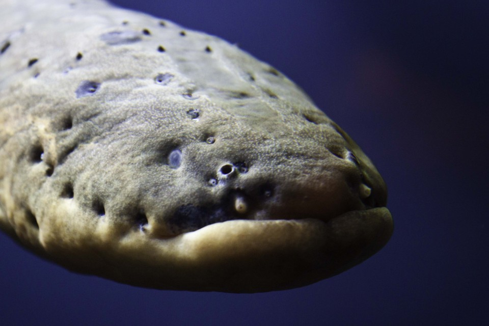 The Stunning Case of Leaping Electric Eels - The Atlantic