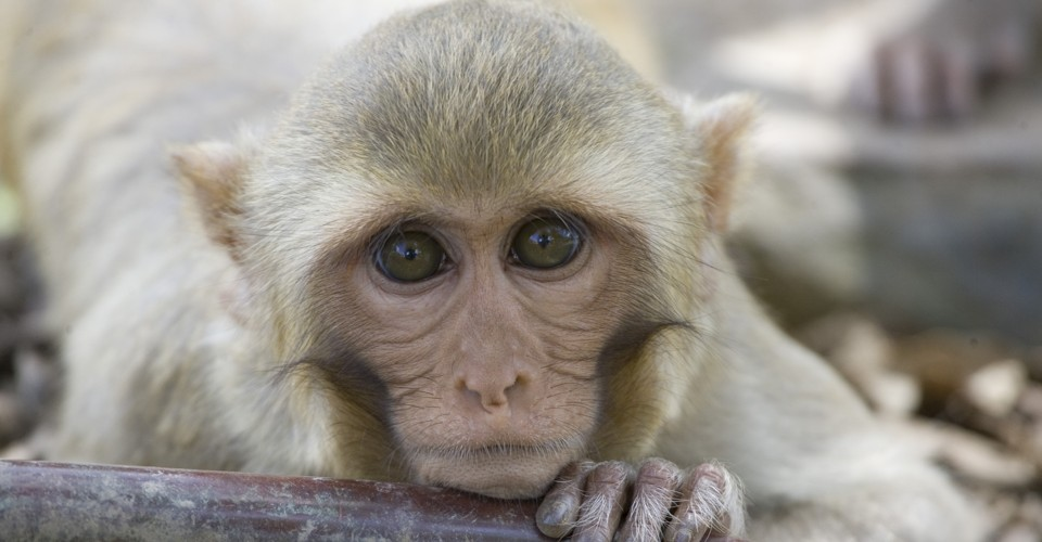 Protection of Rhesus Monkeys against Dengue Virus ...
