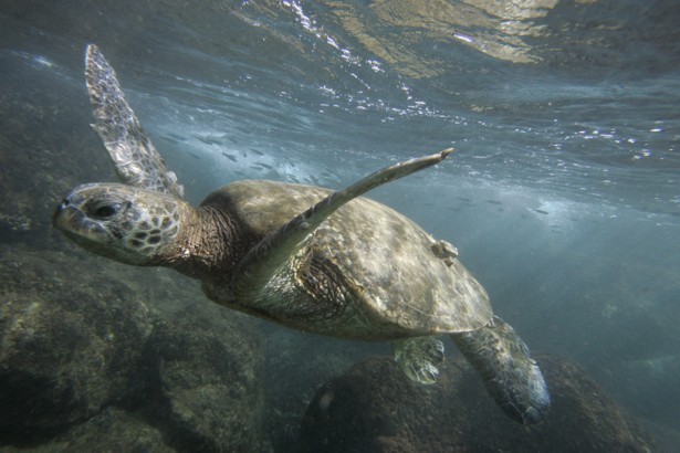 A green sea turtle is seen off the coast of Oahu, Hawaii, in 2006.