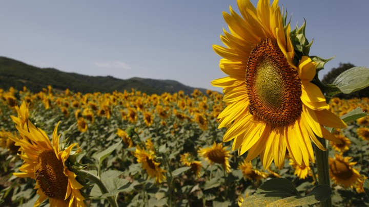how sunflowers follow the sun the atlantic