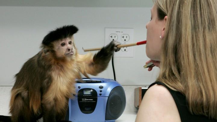 Should Capuchin Monkeys Be Service Animals  - The Atlantic 6fbfe650fb20