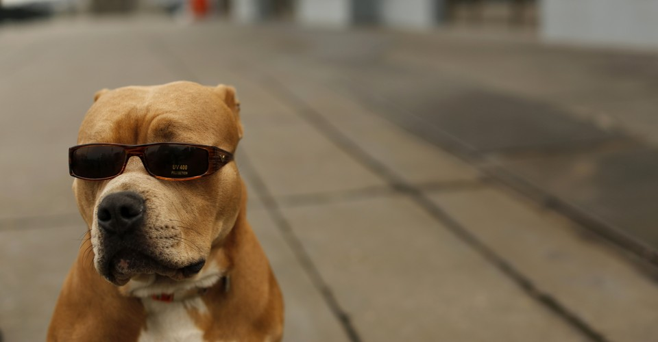 Study Pit Bulls Are Less Aggressive Than Chihuahuas The
