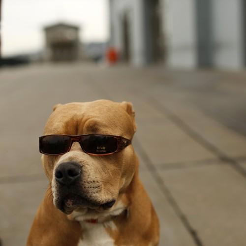 Study: Pit Bulls Are Less Aggressive Than Chihuahuas - The Atlantic