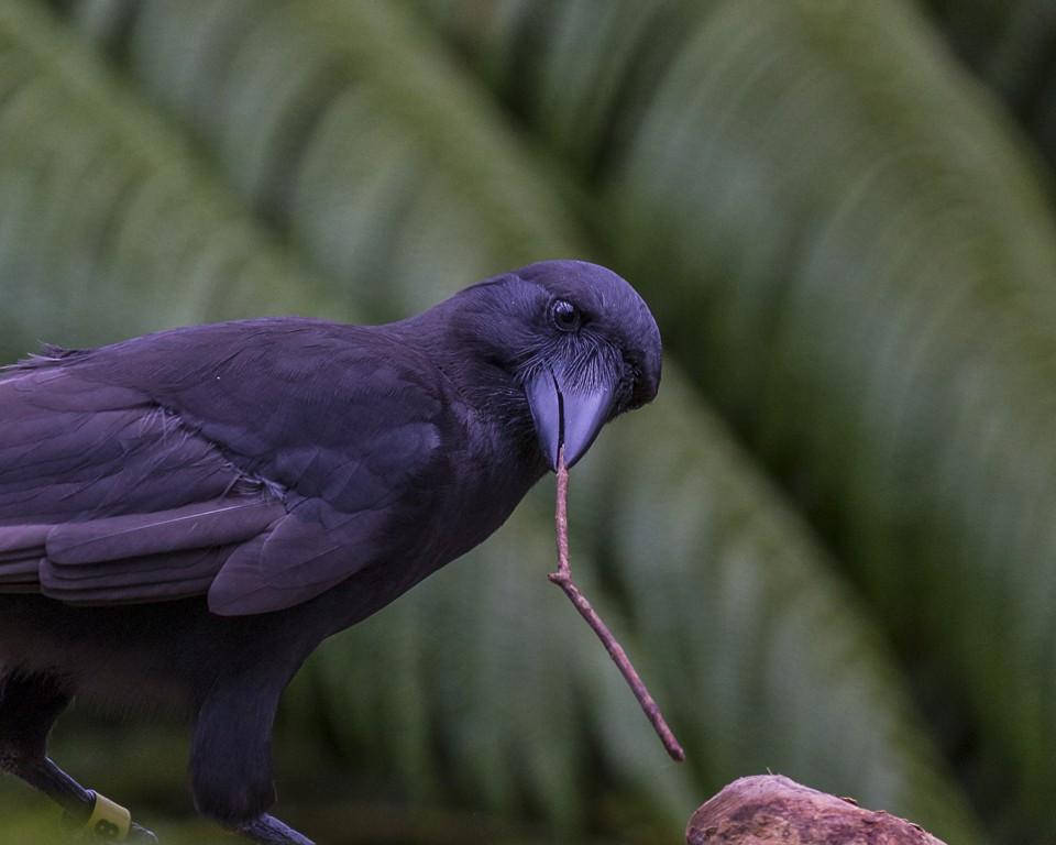 Crows Do Use Crowbars
