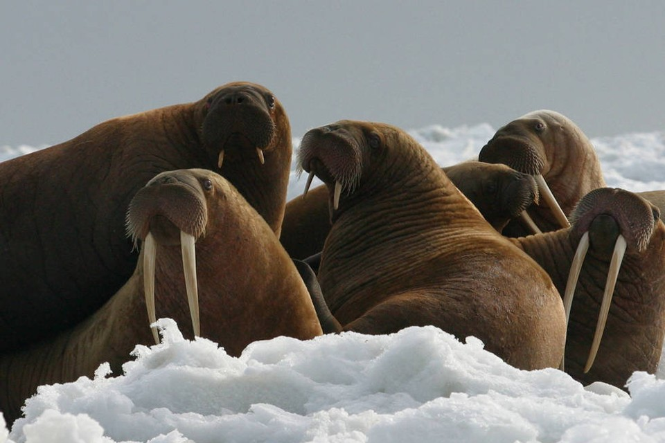 The time has come, the walrus said, to talk of many things ...Joel Garlich-Miller / USFWS