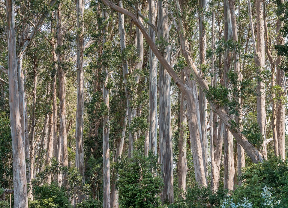 the bay area 39 s great eucalyptus debate the atlantic. Black Bedroom Furniture Sets. Home Design Ideas