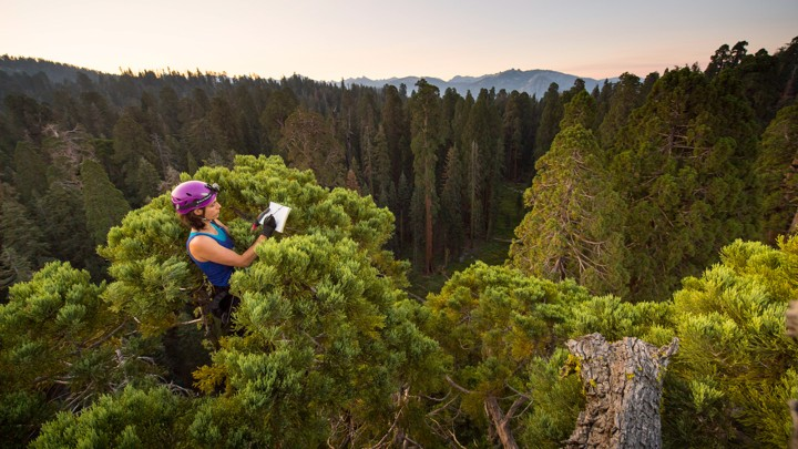 Will California S Giant Sequoia Trees Survive The Drought The