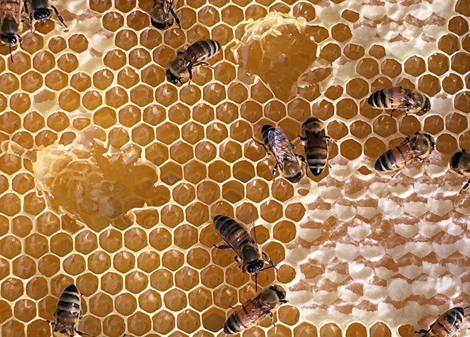 medical benefits of honey biology essay Bee's honey is one of the most valued and appreciated natural substances  known to mankind since ancient times there are many types of bee's honey.