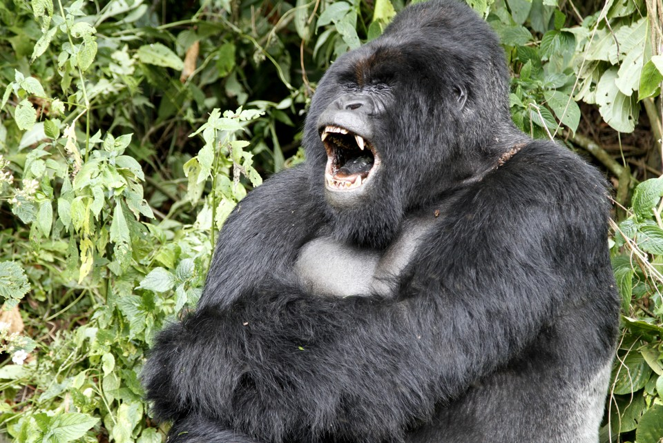 Gorilla Warfare: Why Are Apes Committing Mob Violence
