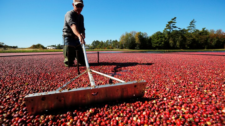 A worker harvests cranberries in Carver, Massachusetts.